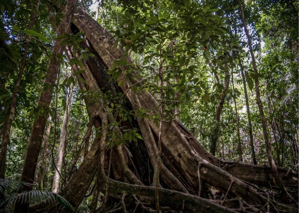 fig tree gigante en el daintree national park australia