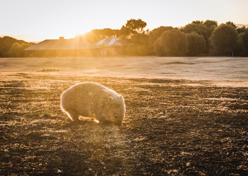 wombats en maria island