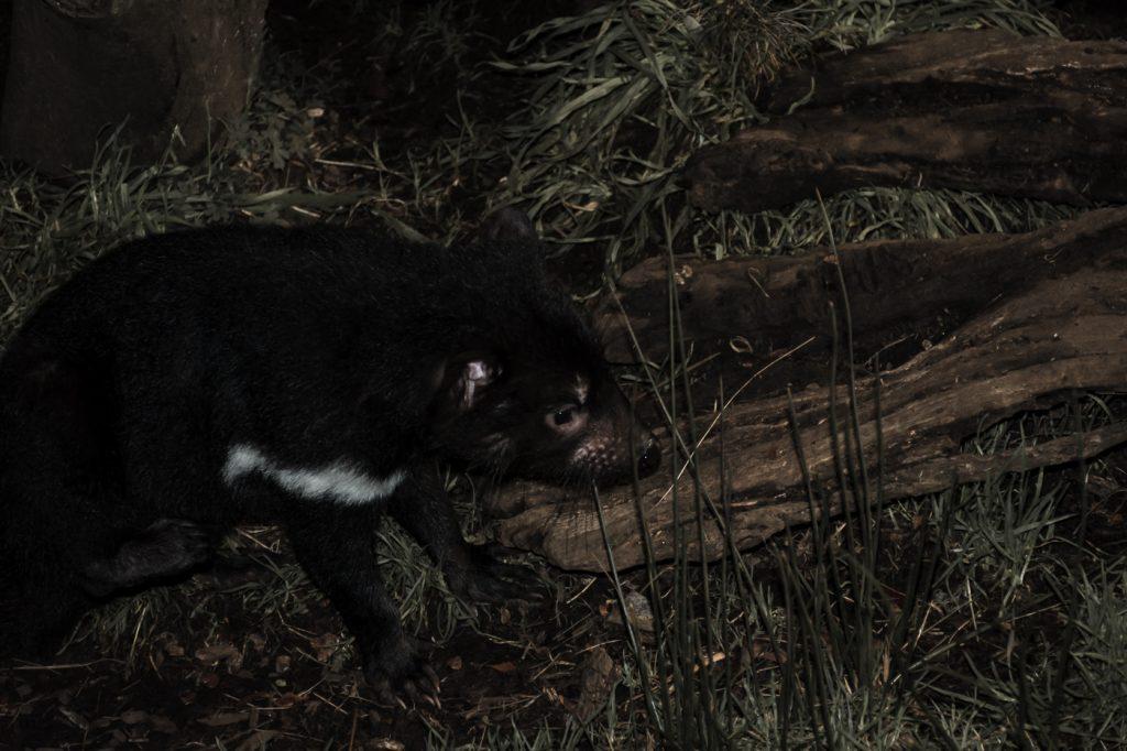 demonio de tasmania en maria island