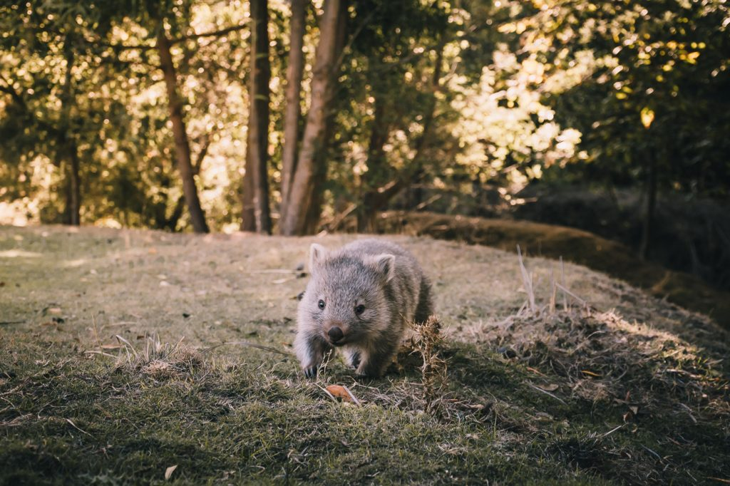 wombat pequeño corriendo en maria island