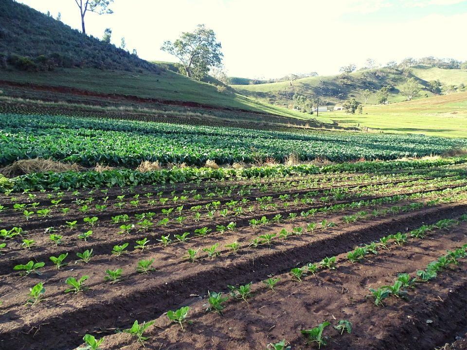 cultivo de brocolis en south australia