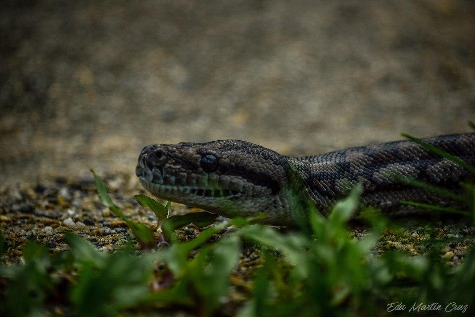 serpiente pitón en australia
