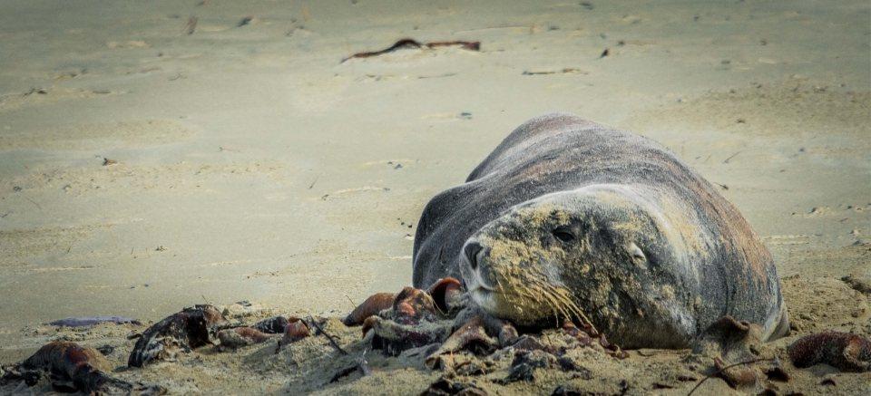 leon marino en las playas de southland en nueva zelanda