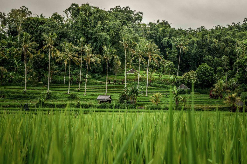 Algunos de los arrozales escondidos por toda la isla de Bali