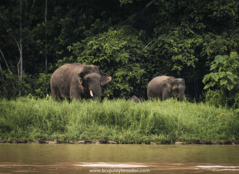 avistamiento de elefantes en libertad en Borneo