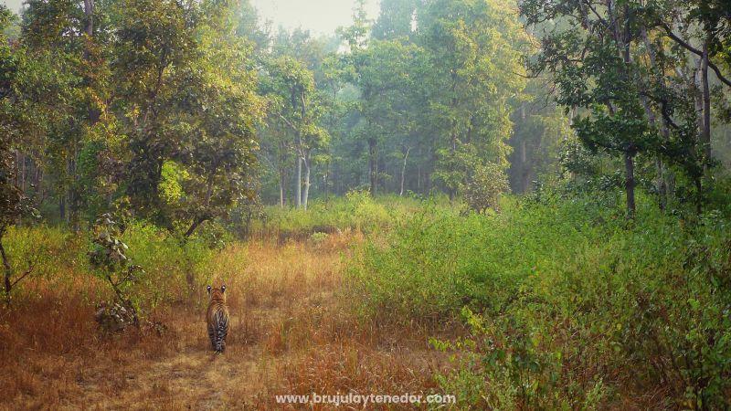 safari para ver tigres en libertad en la India