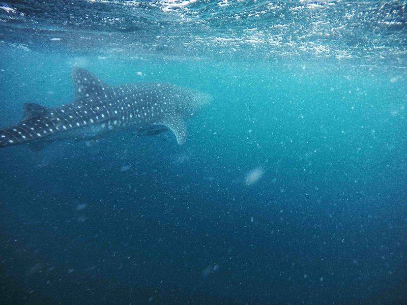 tiburon ballena en cape range national park australia