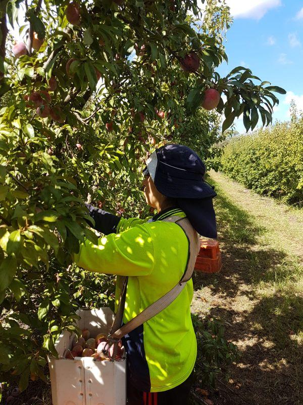 Tamara Medina y novio en trabajo de agricultura en Australia