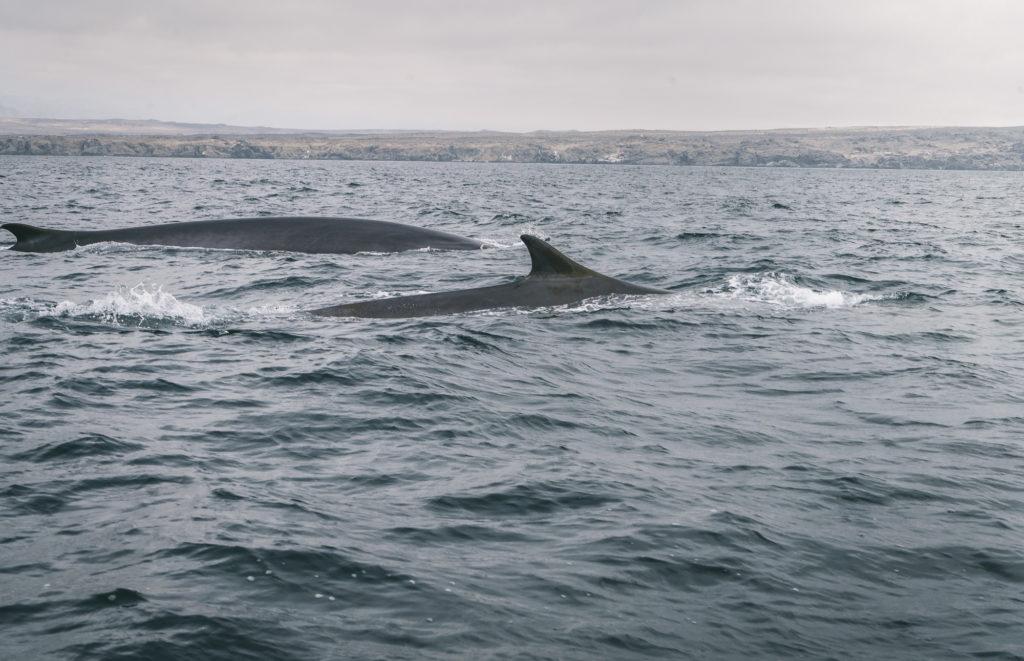 ballenas en punta de choros